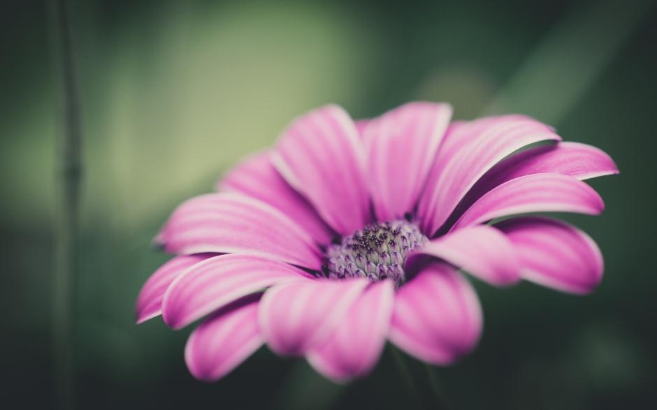 7038766-pink-flower